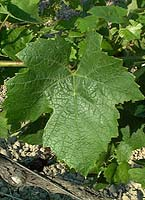 feuilles de gamay