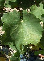 feuilles de grenache