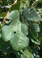 feuilles de merlot
