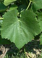feuilles de pinot noir