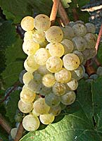 grappes de riesling