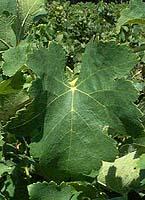 feuilles de syrah