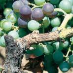 couverture les maladies de la vigne
